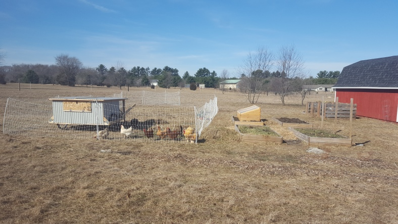 chicken garden week 1